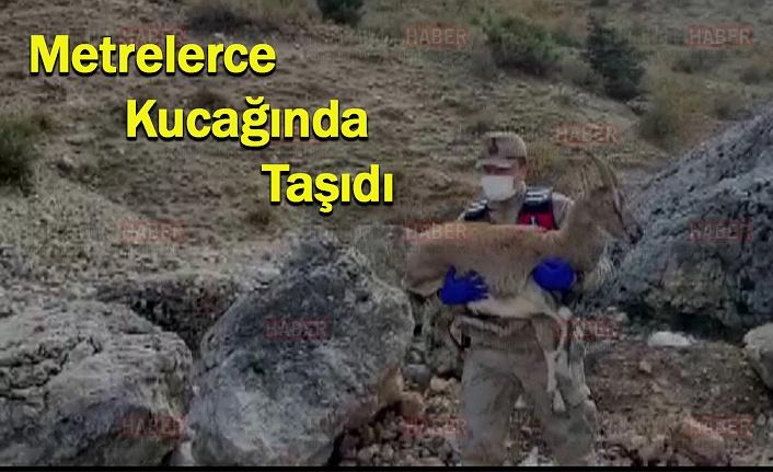 Yaralı Dağ Keçisini Jandarma Ekipleri Kurtardı
