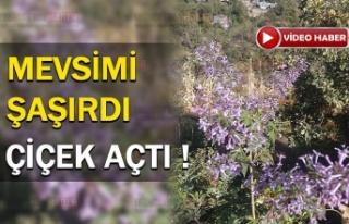 Erzincan'da Sonbaharda Çiçek Açtı