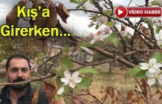 Erzincan'da Elma ağaçları Kasım ayında çiçek...