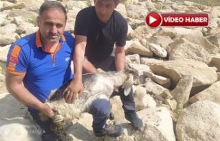 Kayalıkta sıkışan Oğlağı AFAD kurtardı
